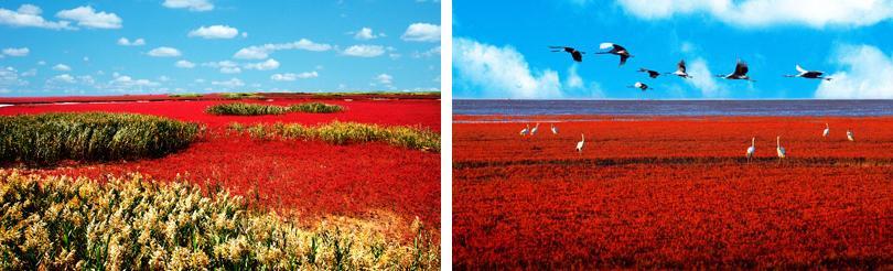 红海滩是大自然孕育的一道奇观。     海的涤荡与滩的积沉,是红海滩得以存在的前提;碱的渗透与盐的浸润,是红海滩红似 世界奇观红海滩 朝霞的条件。    从红海滩景区的接待中心到主景区还有一段路程,途中会经过望不到边的芦苇荡、水禽园、月牙湾湿地公园,最终到达目的地天下奇观红海滩。   织就红海滩的是一棵棵纤弱的碱蓬草即一种适宜在盐碱土质也是惟一一种可以在盐碱土质上存活的草。它每年4月长出地面,初为嫩红,渐次转深,10月由红变紫。它不要人撒种,无需人耕耘,一簇簇,一蓬蓬,在盐碱卤渍里,年复一