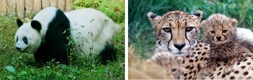 深圳野生动物园简介 一、深圳动物园 深圳野生动物园占地120万平方米,1993年正式开业,是我国第一座集动物、森林、植物、科普等多种特色和观赏功能为一体的具有亚热带新型园林生态环境系统的风景区。野生动物园放养着300多个品种、近万头(只)动物。这些动物除来自全国各地外,还来自世界各洲,它们当中有不少属于世界珍禽名兽和我国一、二级保护动物。如大熊猫、金丝猴、羚牛、火烈鸟、长颈鹿、斑马、亚洲象、丹顶鹤、东北虎等。野生动物园的设计、建设跳出了国内城市目前普遍采用的笼养模式,各种动物可以在开阔地带自由活动,使它们