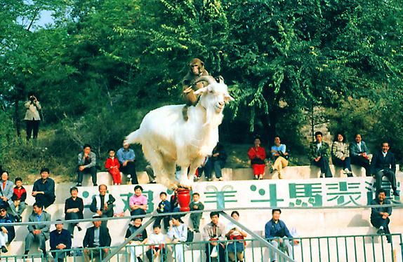 动物竞技山羊走钢丝