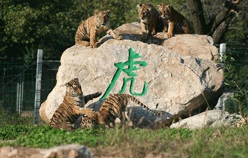 秦岭野生动物园虎区
