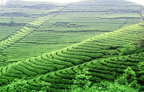 茶山竹海国家森林公园茶园图