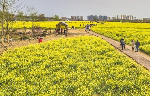 青岛西海岸生态观光园油菜花海